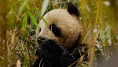 Land of The Panda